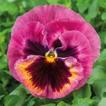 PANSY XTRADA PINK SHADES WITH BLOTCH F1