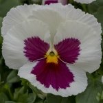 PANSY SPRING GRANDIO WHITE WITH ROSE BLOTCH F1