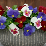 PANSY SPRING GRANDIO F1 COLLECTION