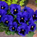 PANSY SPRING GRANDIO BLUE WITH BLOTCH F1