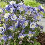 AQUILEGIA EARLY BIRD BLUE & WHITE F1