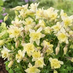 AQUILEGIA EARLY BIRD YELLOW F1