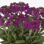 ARABIS BARRANCA DEEP ROSE