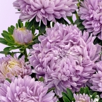 ASTER LILAC MIST