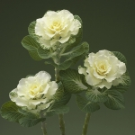 FLOWERING KALE FLARE WHITE F1