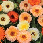 CALENDULA FRUIT BURST MIXED