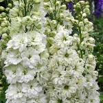 DELPHINIUM GREEN TWIST