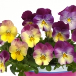 PANSY COOL WAVE RASPBERRY SWIRL F1