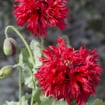 PAPAVER LACINIATUM CRIMSON FEATHERS