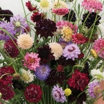 SCABIOSA SUMMER BOUQUET MIXED