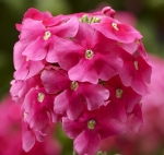VERBENA OBSESSION CASCADE PINK SHADES