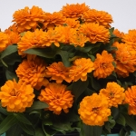 ZINNIA DOUBLE ZAHARA BRIGHT ORANGE F1