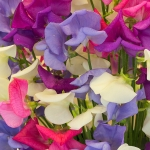 SWEET PEA SCENTED SPARKLES