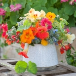 NASTURTIUM SUMMER FRUITS MIXED