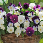 PANSY COOL WAVE BERRIES & CREAM F1