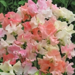 SWEET PEA FRILLS AND BLUSHES